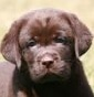 Red Cloud - Allevamento labrador-retriever