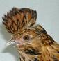 Polli Ornamentali con Barba