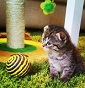 Scottish Fold Sicily - Allevamento british-shorthair