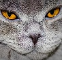 Fairy-Fold - Allevamento british-shorthair