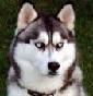 Allevamento Mistery of Ice Siberian - Allevamento siberian-husky