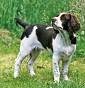 Breeding of Silver Live - Allevamento springer-spaniel