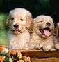 SweetLovely - Allevamento golden-retriever