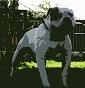Americanbulldog TelegroRiver
