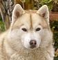 Vanavara - Allevamento siberian-husky