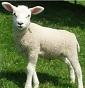 Allevamento Veneto ovini