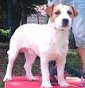 Wild Jack Russell - Allevamento jack-russell-terrier