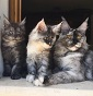 Wildworld  - Allevamento maine-coon