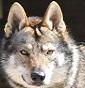 Wolf Is Life - Allevamento cane-lupo-cecoslovacco