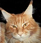Zodiacoon - Allevamento maine-coon
