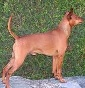 House of Angels - Allevamento zwergpinscher